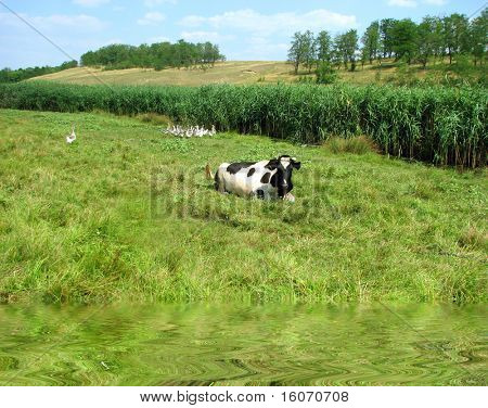 Black and white  cow on green meadow