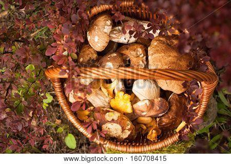 Beautiful Autumn Landscape Wicker Basket With Forest Edible Mushrooms Boletus Edulis Chanterelle Near Bush Barberry In Garden. Top View.