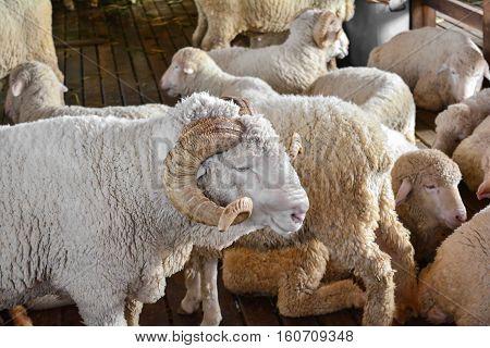 Many Merino Sheep in the farmer farm.