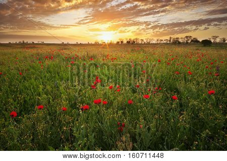 Poppy field. Meadow with blossoming poppies. Nature landscape composition