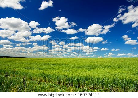 field of wheat, many clouds on blue sky