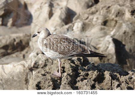 Bird seagull sitting on rocks by the sea