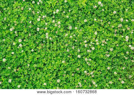 green clover blooming in the garden in summer