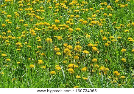Wild dandelion field at flowering time .
