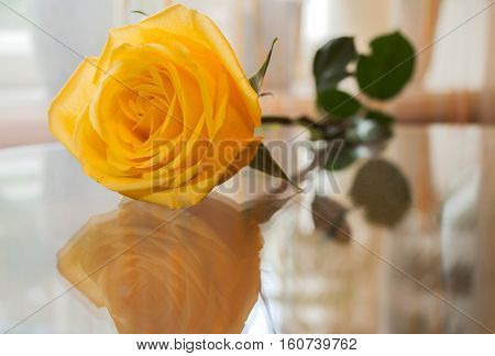 Yellow rose is reflected in transparent glass table on which it lies.