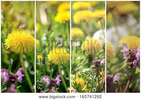 Spring flower in meadow - dandelion flowers and purple flowers