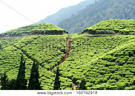 Puncak Pass Tea Plantation. Tea first came to Indonesia in 1720, courtesy of the Dutch colonists. The Dutch government carried out experimental planting in Java using seeds imported from China, but the attempt failed owing to lack of funds and expertise.