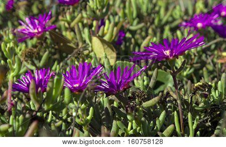 Closeup of a beautiful purple flowers in Balboa Park,California.