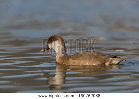 female red-crested pochard (Netta rufina) swimming on a lake