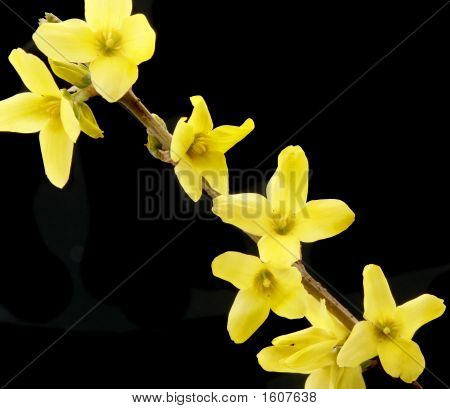 Close Up Forsythia Flowers
