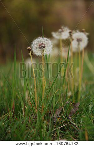 Dandelions on garden. Dandelions on green area