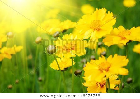 Sunny yellow flowers background