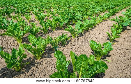 Closeup of young sugar beet plants in long lines growing in recently cultivated soil. It is a sunny day at the beginning of the Dutch summer season.