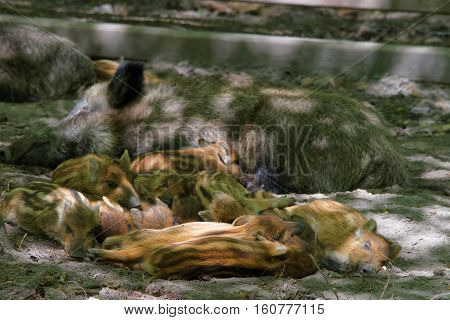 Family Of Wild Boars In Bialowieza National Park In Poland