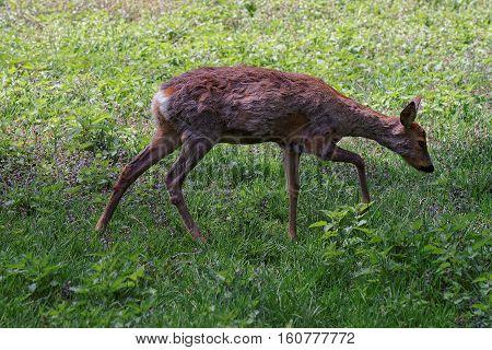 Roe Deer In Bialowieza National Park In Poland