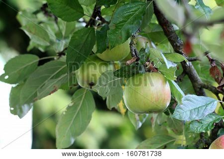Branches of apple / In the garden ripen apples