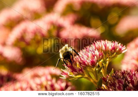 Bee collecting pollen from a pink and white flowers close up