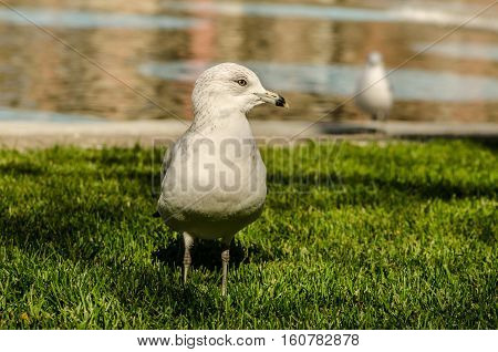 Lone seagull standing on the ground in the summer