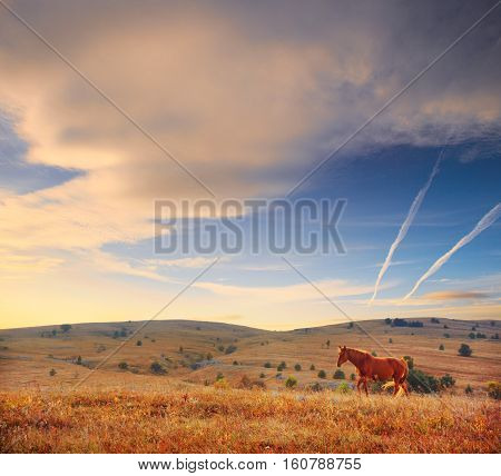 Graceful bay horse walks through the field with dry grass at the beautiful background of hills lighted by the setting sun and cloudy sky above.