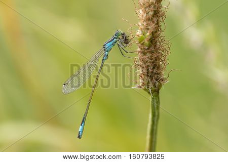 Blue-tailed Damselfly (Ischnura elegans) male resting on a Withered plant eating a Fly