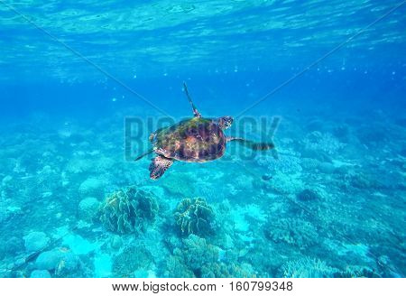 Sea turtle in blue water. Green sea turtle close photo. Lovely sea turtle closeup. Green turtle swimming in the sea. Snorkeling with turtle. Crystal clear water with bright sea life. Marine reptile