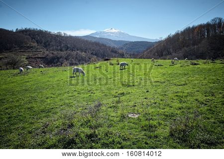 rural landscape with sheep flock and Etna Volcano from Argimusco highland, Sicily