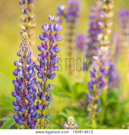 Blooming lupine purple bud with copy space