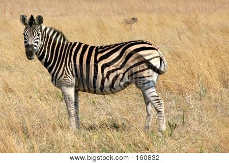 Zebra Grazing In A Field