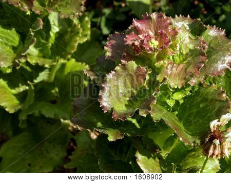 lettuce with dew in a cold winter