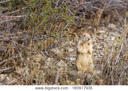 Ground squirrel on hind legs in natural habitat