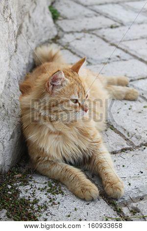 A beautiful cat relaxing and gazing ahead.
