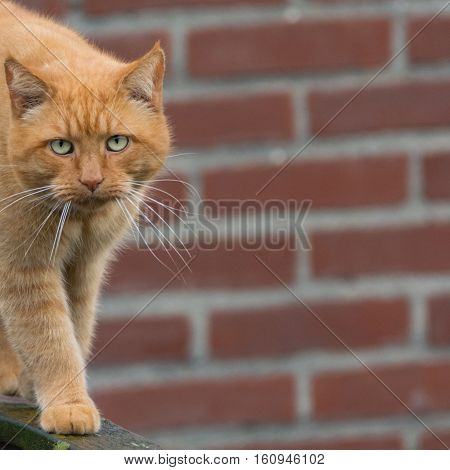 Big ginger cat with long whiskers walking on wooden fence