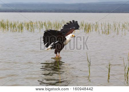 Eagle fisherman. Eagle from Lake Baringo. Kenya, Africa