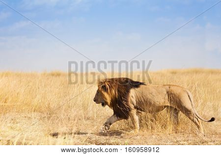 Side view portrait of big lion walking and hunting in the grass of savannah