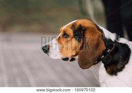 Estonian Hound Dog Outdoor Close Up Portrait At Cloudy Day