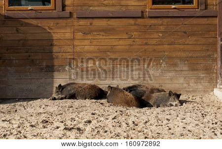 group of wild boars resting near pigsty in zoo