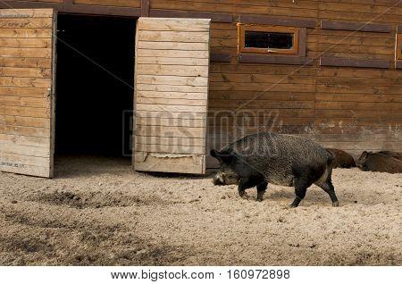 wild boar is in a wooden shed