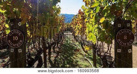 Grape Vine Clones In California