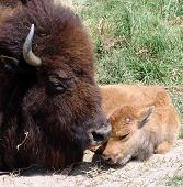 stock photo of female buffalo  - mama buffalo with new baby - JPG