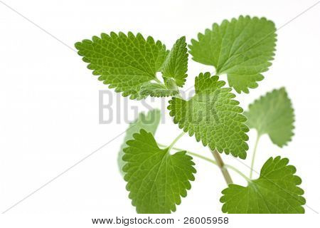 Catnip on a white background