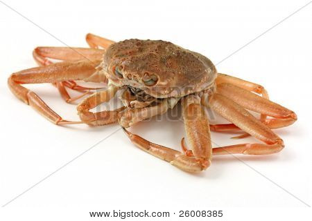 snow crab , female