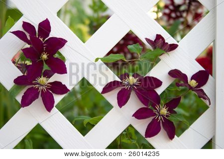Beautiful purple clematis flowers climb on gazebo lattice in the middle of garden