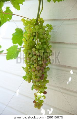 Close up of ripening green and blue grapes on vine.