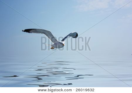 Flying seagull with water reflection
