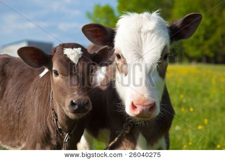 Close up of a two young calfs