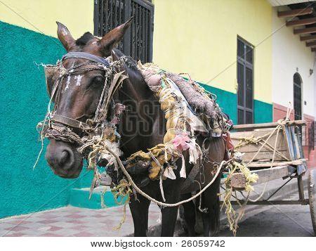 cavalo em granada Nicarágua