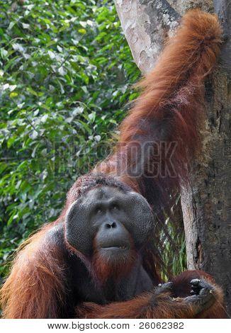 big orangutan in sarawak (borneo )