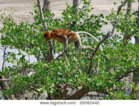 proboscis monkeys in borneo