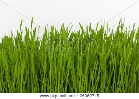 pasto de trigo