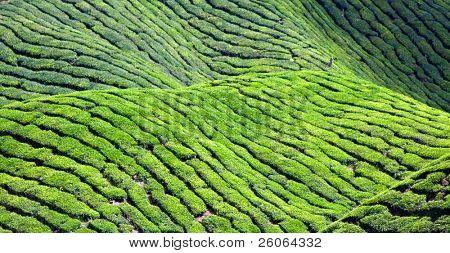 cameron highlands malaisia asia